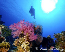 Beautiful soft corals in the red sea with a crystal clear... by Barbara Schilling 